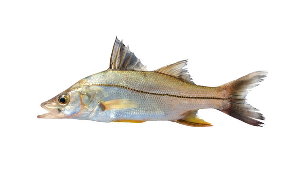 The common snook (Centropomus undecimalis) is a species of marine fish. Isolated on white background