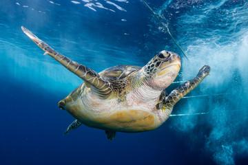 Green Sea Turtle Behind a SCUBA Diving Boat in a Tropical Ocean Wall mural