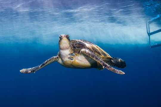 Green Sea Turtle Behind a SCUBA Diving Boat in a Tropical Ocean