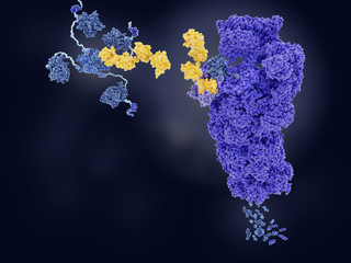 The tumor suppressor p53, tagged with ubiquitin, is degraded by a proteasome