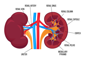 Flat vector illustration: left and right healthy kidney and their anatomy. Detailed realistic vector design with description for book or infographic. Human internal organ. Human urinary system.