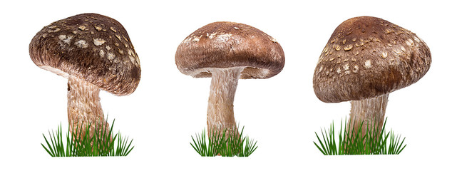 Fototapete - Shiitake mushroom on the white background and green grass