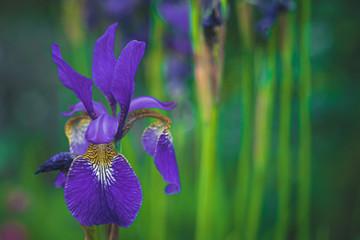 Fond de hotte en verre imprimé Iris Lilie