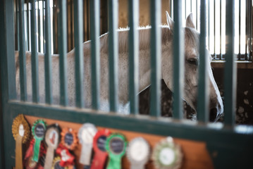 The horse locked in the loosebox in the stable and winning cotillions on the door