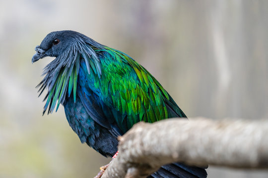 The Nicobar pigeon is a pigeon found on small islands and in coastal regions from the Andaman and Nicobar Islands, India, east through the Malay Archipelago, to the Solomons and Palau