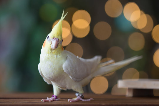 Young Cockatiel  isolated on bokeh background