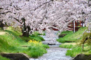 Foto op Canvas Kersenbloesem 観音寺川の桜並木(福島県・猪苗代町)