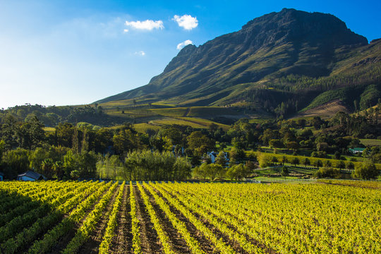 Vineyard Under a Mountain