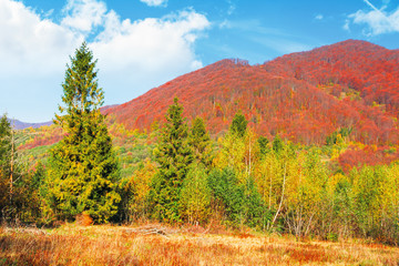 spruce and birch forest on the meadow in mountains. beautiful autumnal landscape of Carpathians. trees in reddish foliage on the distant ridge beneath a blue sky with fluffy clouds