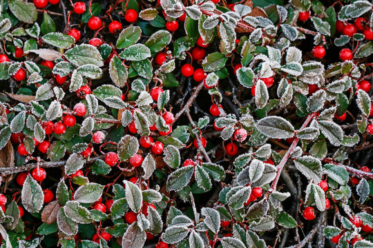 Red berries (cotoneaster horizontalis) under the frost.