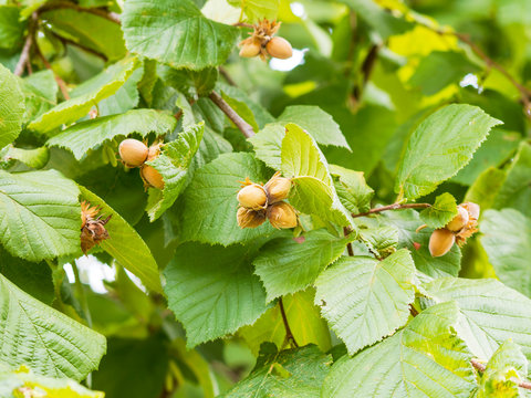 Corylus avellana - Common hazel cultivated for its nuts and hedgerows in Europa with green foliage in heart shaped