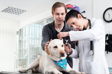 Female veterinarian examining ear of labrador