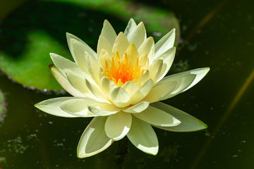 White water lily (Nymphaea Chromatella), blooming with afternoon sunlight, in summer