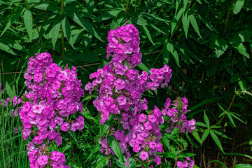 garden phlox (Phlox paniculata), blooming with sunlight and green vegetation background