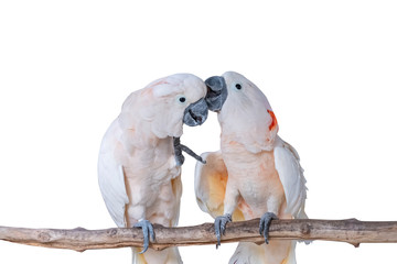 Lovers cockatoo parrot isolated on white background