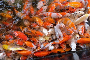 Group of koi fish in pond