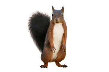 Foto op Aluminium Eekhoorn Red squirrel (Sciurus vulgaris), isolated on white background