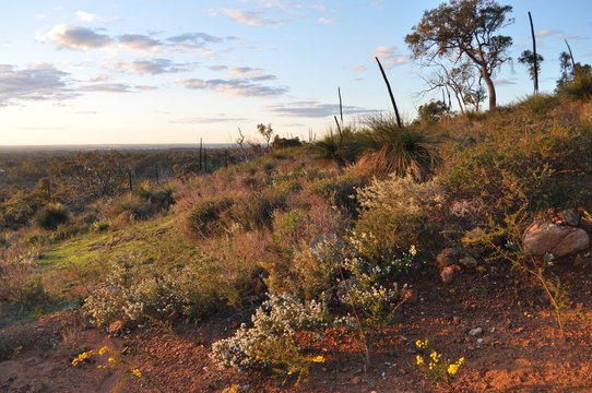 Golden hour view with bushland, eucalyptus trees, wildflowers and xanthorrhoea or grass trees in the spring, Whistlepipe Gully Walk, Mundy Regional Park, Kalamunda, Western Australia, Australia