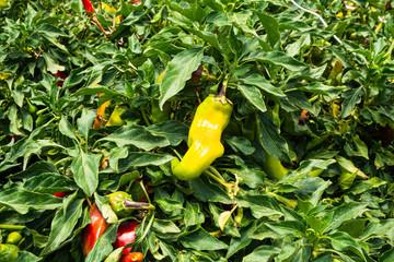 Cultivos de alimentos en invernadero