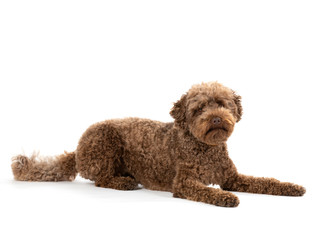 Australian labradoodle portrait in studio. Image taken with white background, isolated on white. Copy space.