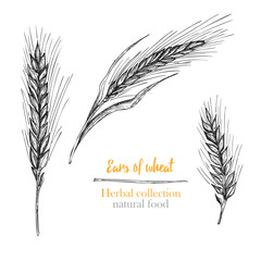 Set botany hand drawn sketch Ears of wheat isolated on white background. Engraving style. Herbal frame. Natural food collection. Vintage vector illustration.