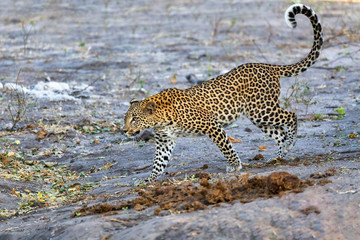 beautiful cat, south african leopard on bank of river Chobe, Panthera pardus, Chobe National Park, Botswana, Africa wildlife