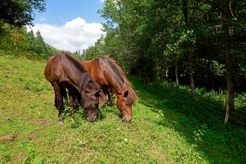 Printed roller blinds Horses Islandpferde - Icelandic horses