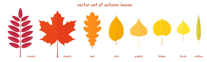 Vector set of autumn leaves. Fine elements of a various trees with realistic margins. Rowan, maple, oak, elm, poplar, birch, American linden and willow leaves. Palette of red, orange and yellow colors