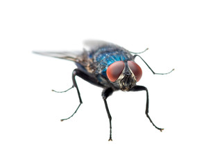 Exotic Blue Diptera Meat Fly Insect Isolated on White Background Wall mural
