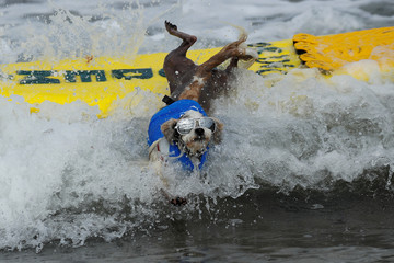 """A small dog jumps off his surfboard while competing at the 14th annual Helen Woodward Animal Center """"Surf-A-Thon"""" where  more than 70 dogs competed in five different weight classes for """"Top Surf Dog 2019"""" in Del Mar, California"""