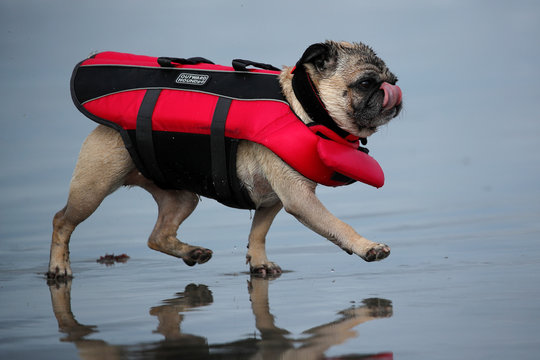 """A small dog wears a life jacket during the 14th annual Helen Woodward Animal Center """"Surf-A-Thon"""" where  more than 70 dogs competed in five different weight classes for """"Top Surf Dog 2019"""" in Del Mar, California"""