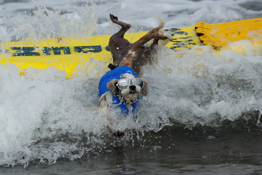 "A small dog jumps off his surfboard while competing at the 14th annual Helen Woodward Animal Center ""Surf-A-Thon"" where  more than 70 dogs competed in five different weight classes for ""Top Surf Dog 2019"" in Del Mar, California"