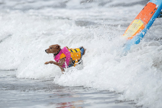 "A dog jumps off a surfboard during competition at the 14th annual Helen Woodward Animal Center ""Surf-A-Thon"" where  more than 70 dogs competed in five different weight classes for ""Top Surf Dog 2019"" in Del Mar, California"