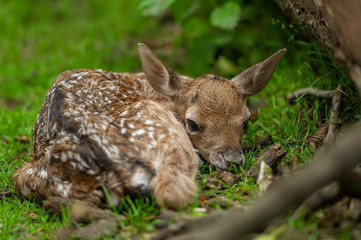 Fallow deer fawn. New born animal in the nature