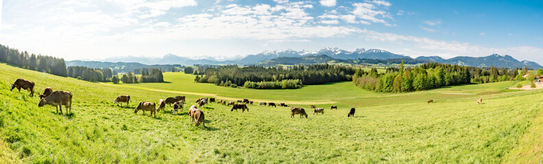 Banner - Bergwiese mit Braunvieh im Allgäu