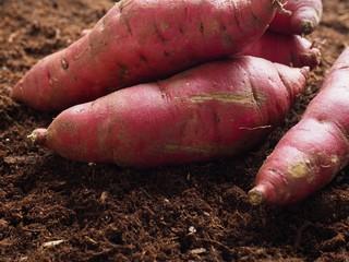흙배경과 고구마, 한국의 유기농 고구마