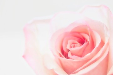 A close up photo of a cute pastel pink colored rose on white background.
