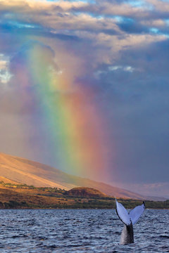 Humpback whale tail breaking the surface under a brilliant rainbow in Lahaina on Maui
