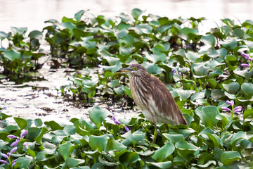 A pond heron resting on weeds in the river