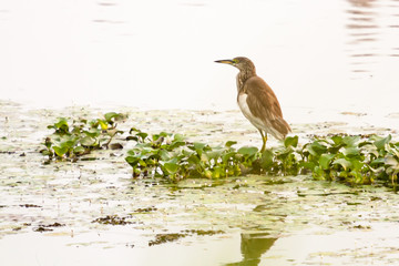 An Indian pond heron resting on green weeds in water