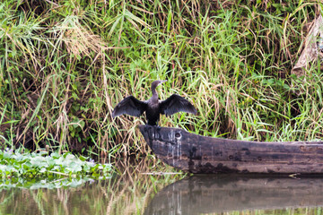 Cormorant resting on a fishing boat near river with wings wide open