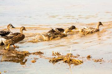 Ducks swimming in water