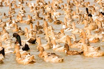 Flock of ducks swimming in water