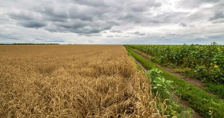 Fototapete - Cloudy sky and rural road passing between field yellow wheat and green field sunflower, panoramic view. Beautiful scenic dynamic landscape agricultural land, 4K time lapse. Beauty nature, agriculture.