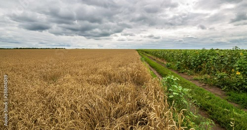 Fototapete Cloudy sky and rural road passing between field yellow wheat and green field sunflower, panoramic view. Beautiful scenic dynamic landscape agricultural land, 4K time lapse. Beauty nature, agriculture.