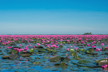 Photo sur Plexiglas Nénuphars Wonderful pink water lily blooming landscape, Breathtaking lake of water lily