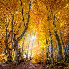 Aluminium Prints Autumn Autumn in wild forest - vibrant leaves on trees