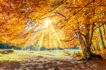 Autumn landscape - big forest golden tree with sunlight on sunny meadow Fototapete