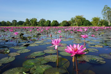 Photo sur Plexiglas Nénuphars pink water lily in pond