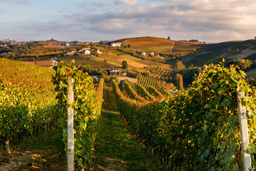 Autumnal vineyards in a row on the hills of Piedmont.